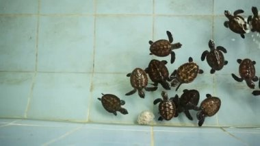 Thailand Baby Green Sea Turtles swimming — Stock Video