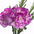 Two pink carnation on a white background — Stock Photo #6646422