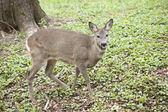 Roe in forest — Stock Photo