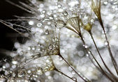Water drops on dandelion — Stock Photo