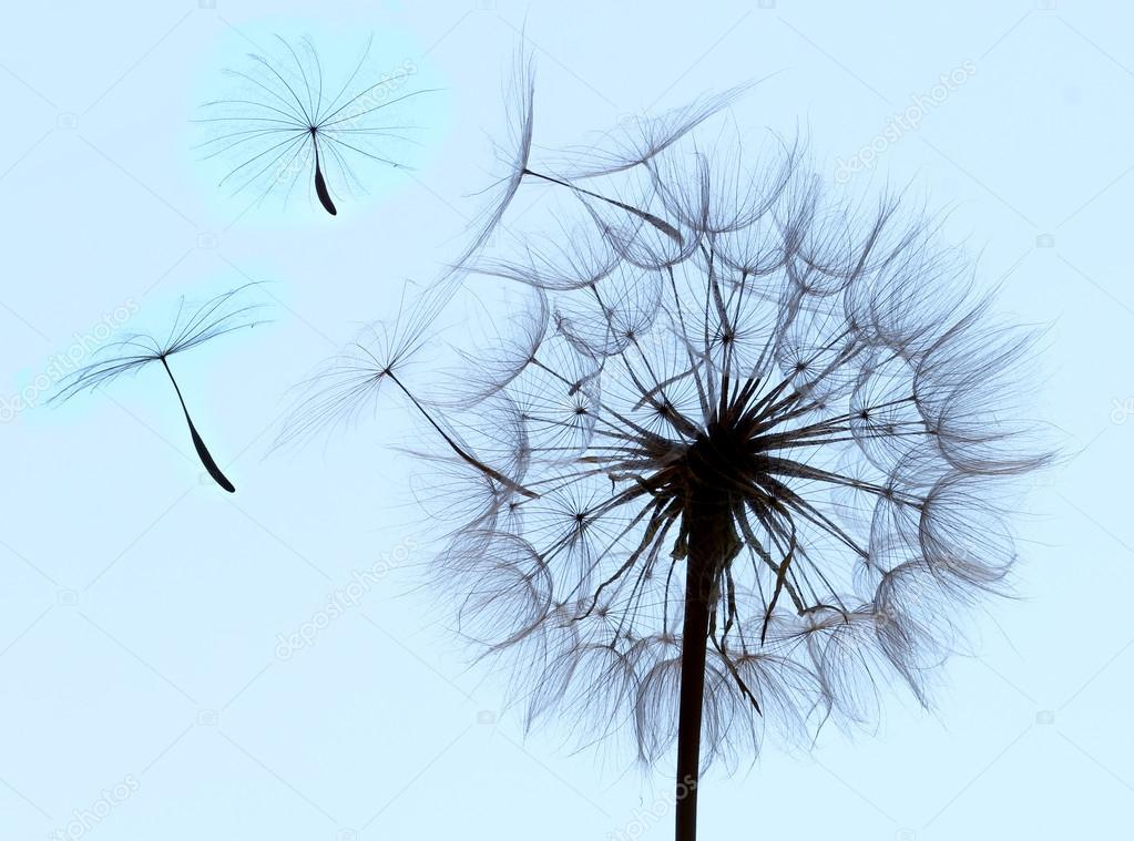 Flying parachutes from dandelion  — Stock Photo #12014607