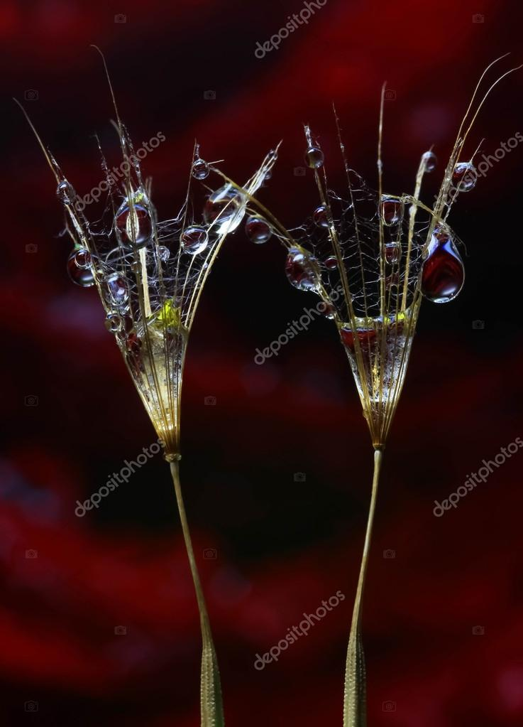 Water drops on two dandelion seeds — Stock Photo #12014765