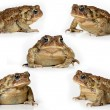 Set of toads Isolated on white background — Stock Photo #14613543