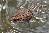 Swimming toad — Stock Photo