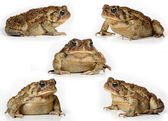 Set of toads Isolated on white background — Stock Photo