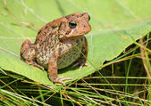 Brown toad / frog on a green leaf — Stock Photo