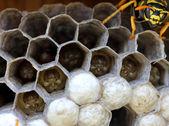 Wasps nest with larva — Stock Photo