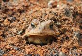 Toad burying itself — Stock Photo