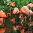 Flock of pink flamingo in water — Stock Photo #15001975