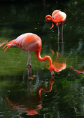 Two pink flamingos in the water — Stock Photo