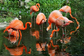 The flock of pink flamingo in the water — Stock Photo