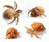 Set of Hermit Crabs from Caribbean Sea — Stock Photo