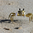 A tropical yellow Caribbean crab on a beach — Stock Photo