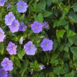 Stock Photo: Trailing petuniflowers in hanging basket