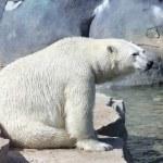 Lonely polar bear — Stock Photo #15027721