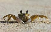 A tropical yellow Caribbean crab on a beach — Stock Photo