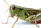 Closeup of grasshopper — Stock Photo