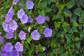 Trailing petunia flowers in a hanging basket — Stock Photo