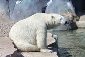 Lonely polar bear — Stockfoto
