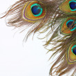 Peacock feathers on white background — Stock Photo #16107161