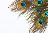 Peacock feathers on white background — Stock Photo