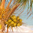 Coconuts on palm tree - Stock Photo