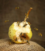 The bees collect pear fruit sweet juices — Stock Photo