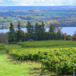 Stock Photo: Vineyard on Keuka Lake