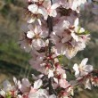 Almond Blossom, flourished, — Stock Photo