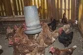 Galline in fattoria — Foto Stock