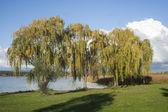 Willow tree — Stock fotografie