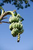 Banany na drzewa i niebo — Zdjęcie stockowe