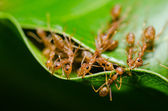 Red ant teamwork — Stock Photo
