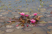 Pink lotus blossoms in the pond — Stock Photo
