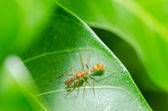 Ant mimic spider - male — Stock Photo