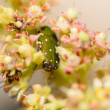 Green bug in the flower — Stock Photo