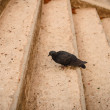 Black pigeon on the staircase — Stock Photo