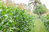 Corn farm — Stock Photo