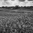 Rice field black and white — Stock Photo