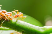 Red ant and aphid on the leaf — Stock Photo