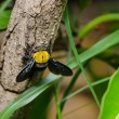 Carpenter bee in nature — Stock Photo #38748151