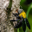 Carpenter bee in nature — Stock Photo #38748381