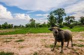 Bufalo tailandese — Foto Stock