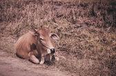 Krowa na trawie — Zdjęcie stockowe