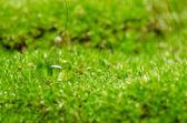 苔藓与水滴 — 图库照片