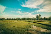 Risfält — Stockfoto