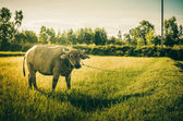 Thai buffalo — Stock Photo