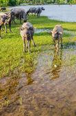 Thailändska buffalo — Stockfoto