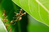 Red ants build home — Stock Photo