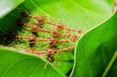 Röda myror bygga hem — Stockfoto